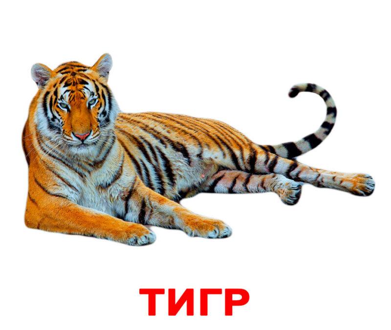 """Купить Подарочный набор карточек Домана """"Дикие животные Тигр"""" большие с фактами,ламинированные.Раннее развитие по методике Глена Домана"""