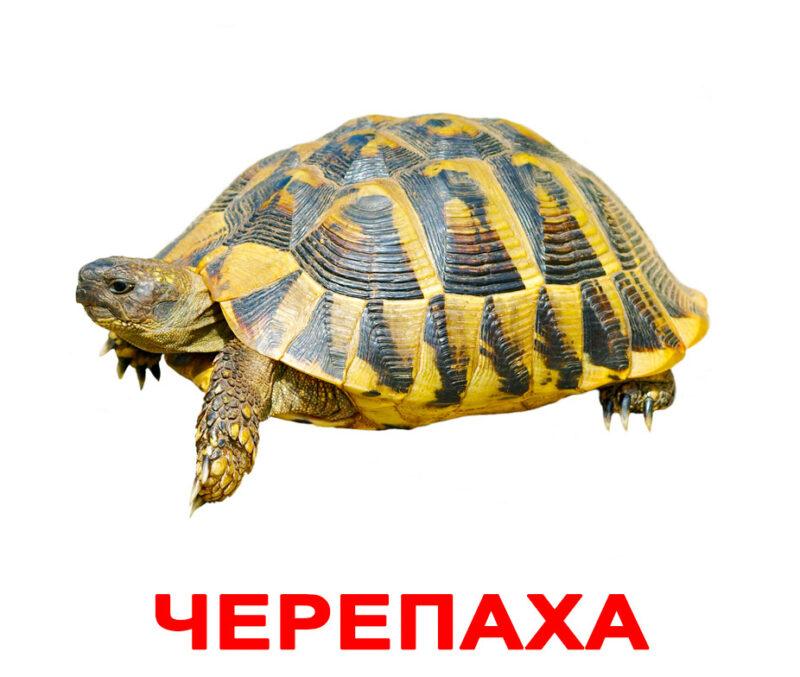 Карточки домана Домашние животные - черепаха. Вундеркинд с пеленок